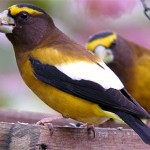 Evening Grosbeak tips to attract