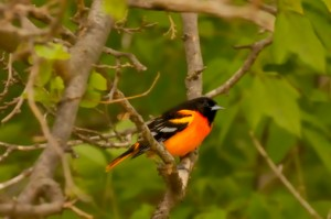 how to attract orioles to your backyard